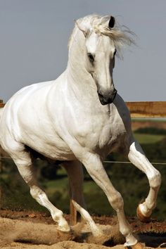 Strong and powerful Beautiful Arabian Horses, Most Beautiful Animals, Pretty Horses, Horse Love, Andalusian Horse, Tier Fotos, White Horses, Horse Breeds, Horse Photography