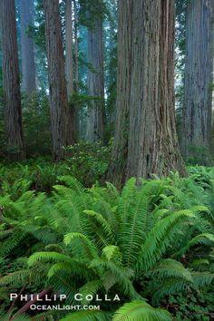 Coast redwood (Sequoia sempervirens) in Redwood National Park, California.