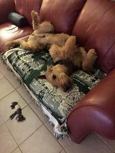 Airedale Sleep Position # 47
