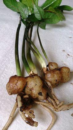ZZ Plant (Zamioculcas zamiifolia) roots.jpg