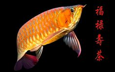 Highly prized as an aquarium fish (in Chinese lore it brings good luck, success, and longevity), the Asian Arowana is considered a huge opportunity for fish farmers.