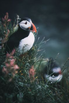 """Puffins - It took me a long time to spot these little cute guys. Now I finally was lucky! <a href=""""http://www.instagram.com/moners"""">visit me on INSTAGRAM</a> for more!"""