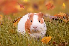 Autumn, Guinea Pig, Pig, Pet, Fall