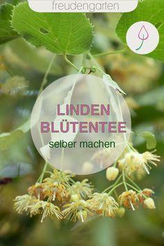 Die Wirkung von Lindenblütentee ist vor allem bei Erkältungen sehr lindernd. Hier eine Anleitung zum Sammeln und Trocknen von Lindenblüten.