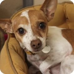 Meet Sadie, a Chihuahua / Rat Terrier mix available for adoption at A.D.O.P.T. Pet Shelter in Naperville, IL