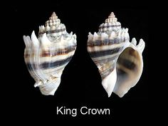 "Conch: King Crown - strip (1"" to 3"")"