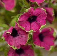 These lime green and hot pink petunias are INCREDIBLE!