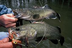 Murray Cod (below) vs Trout Cod (above). Both from the same snag on the Murray River Trout Fishing, Fly Fishing, Murray River, Cod Fish, How To Look Better, Cod, Camping Tips