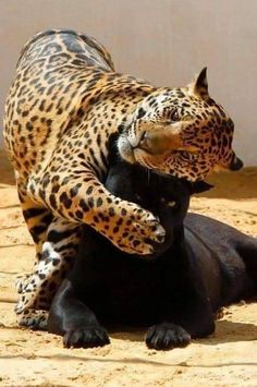 Lovely Images Of Black Jaguar Playing With Her Spotted Baby - World's largest collection of cat memes and other animals Animals And Pets, Baby Animals, Cute Animals, Wild Animals, Jaguar Tier, Beautiful Cats, Animals Beautiful, Big Cats, Cute Cats