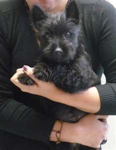 OK this really is the cutest Scottie Puppy ever! Jo at www.AdorePurses.com