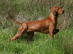 Унгарска визла/ Hunting - Hungarian Vizsla - One of the few breeds that can work as both a pointer and a retriever, plus their puppies are super cute. Weimaraner, Vizsla Puppies, Dogs And Puppies, Doggies, Rhodesian Ridgeback, Best Dog Breeds, Best Dogs, Hungarian Vizsla, Hunting Dogs