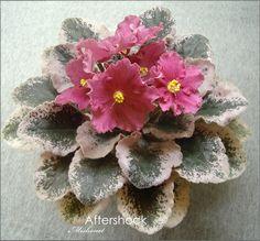 Aftershock (P. Sorano) Простые и полумахровые темные, кораллово-красные с волнистым краем звезды, охристая коронка вокруг центра. Пестрая, темно-зеленая с розовыми пятнами листва. Полумини.