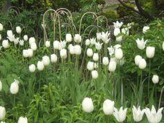 Quick Tulip Tips / http://sensiblegardening.com/quick-tulip-tips/