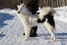 Spitz Breeds, Spitz Dogs, Dog Breeds, Doggies, Dogs And Puppies, Rough Collie, Husky Mix, Wild Dogs, Sheltie