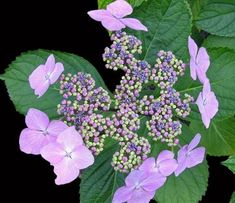 Bred in France in this award-winning hydrangea has lilac ray florets surrounding central fertile flowers of strong blue. Unusual Flowers, Types Of Flowers, Beautiful Flowers, Hydrangea Garden, Hydrangeas, Colorful Shrubs, Shade Garden Plants, Hydrangea Macrophylla, Big Leaves
