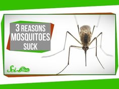 Did you know that mosquitos are drawn to people with O blood types? Watch this video from SciShow to learn more.