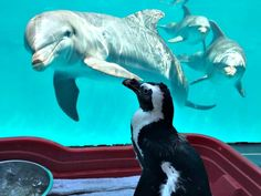 A trio of curious dolphins and a penguin eye each other at Gulfarium in Fort Walton Beach. Florida Vacation, Florida Beaches, Sandy Beaches, Fort Walton Beach Florida, Stuff To Do, Things To Do, Gulf Of Mexico, Beach Fun, Dolphins
