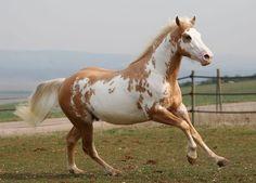 Palomino Paint Horse | Samy étalon paint horse palomino ovéro -                                                                                                                                                                                 Plus