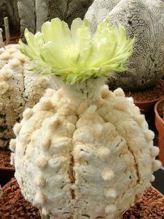 astrophytum asterias cv 'Super snow'