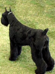 giant schnauzer pictures | ... dog breed facts com images giant schnauzer giant schnauzer big 4 jpg