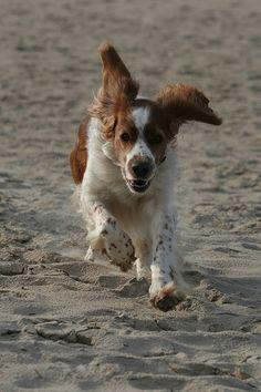 Welsh Springer Spaniel Puppy Dog