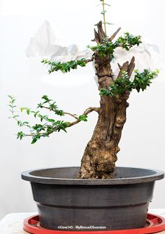 My Bonsai Obsession: Olive Tree Gets a Virtual Makeover