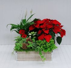 A homely gift to celebrate the season. Red Poinsettias pop against green plants all arranged in a distressed planter box. Cut Flowers, Fresh Flowers, White Planters, White Plains, Flower Shops, Blossom Flower, Planter Boxes, Green Plants, Flower Delivery