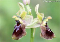 Ophrys sphegodes subsp. tarquinia x tenthredinifera - Flickr - Photo Sharing!