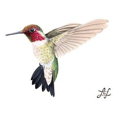 Liz Clayton Fuller: Mixed-Media Illustration of a Male Anna's Hummingbird