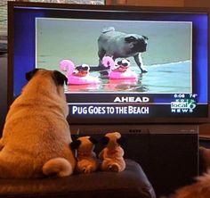 Crush On Pugs (@CrushOnPugs) | توییتر