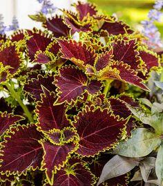 Buy Plants, Types Of Plants, Potted Plants, Planting Shrubs, Planting Flowers, Flowers Garden, Garden Plants, Evergreen Garden, Black Eyed Susan
