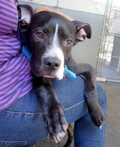 Manhattan Center VAN – A1044978 MALE, BLACK / WHITE, PIT BULL MIX, 10 mos STRAY – STRAY WAIT, NO HOLD Reason STRAY Intake condition UNSPECIFIE Intake Date 07/22/2015 http://nycdogs.urgentpodr.org/van-a1044978/