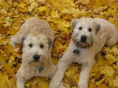 My girls, Gracie and Penny (Wheaten Terriers)