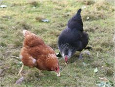 Whitney the Goldline and Loxie the Magpie, both now in Chicken Heaven