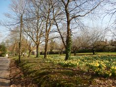 Daffodils in Sandy Lane Daffodils, Country Roads, Plants, Plant, Planets