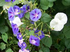 morning glory flower | and white morning glories vines. There are many morning glory flowers ...