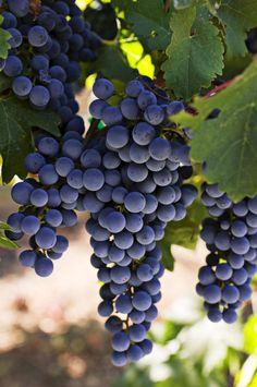 Sauvignon Grapes ~ Photography by Garry Gay