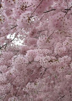 Blossoms of pink <3