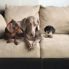 Dogs deserve the joy of a secret menu, too. Starbucks has a special drink for dogs that isn't commercially advertised, and one adorable puppy named Leopold just Funny Dachshund, Dachshund Puppies, Cute Puppies, Cute Dogs, Dogs And Puppies, Doggies, Daschund, Animals And Pets, Baby Animals