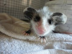 baby possum.   will never forget my baby possoms I had before handing them over to wildlife rehabilitator...too cute!