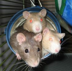 Rat cage accessories...cozy spaces for rats