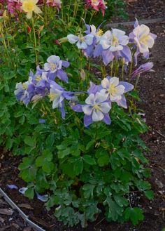 'Bluebird' columbine is a hybrid of the native wildflower. The flowers on this hybrid face up and have long spurs. Columbine is a hummingbird favorite, while deer and rabbits leave it alone. Give it a spot in partial shade or in a woodland garden with soil rich in organic matter. Hardy in Zones 3 to 9.