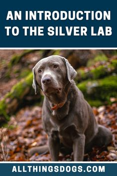 Just like any other Labrador, the Silver Labrador is happy, lovable and full of energy. What sets is apart is its unique color! Read our breed guide to learn everything you need to know before you decide to get a Silver Labrador home.  #silverlab #silverlabrador #labrador