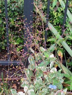 Variegated Jewels of Opar, Fame Flower Talinum paniculatum 'Variegatum'