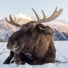 Animals And Pets, Baby Animals, Funny Animals, Cute Animals, Moose Hunting, Bull Moose, Alaska Hunting, Moose Pictures, Animal Pictures