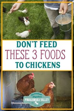 Things you Should NOT Feed your Chickens Chickens are easy to keep, but make sure youa re not feeding your chickens these 3 foods!Chickens are easy to keep, but make sure youa re not feeding your chickens these 3 foods! Food For Chickens, Raising Backyard Chickens, Keeping Chickens, Pet Chickens, Urban Chickens, Bantam Chickens, How To Raise Chickens, Best Egg Laying Chickens, Permaculture