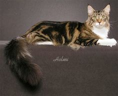 Maine Coon show cat