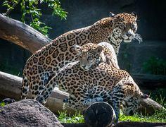 Pile 'O Jaguars (by Eve'sNature-OfflineForAWeek :))