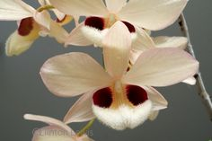 ORCHID DYNASTY