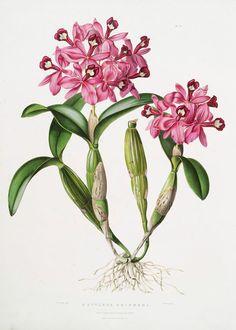 vintage, botany, phytology, botanical, botanic, vintage botanical illustration, botanical illustration, vintage flower, orhid, white orhid, pink orhid, red orhid, vintage orhid, yellow orhid,